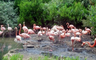 Flamingos at Bermuda Aquarium